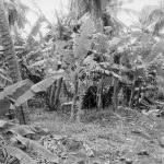 Small farm,St. Lucia, '96